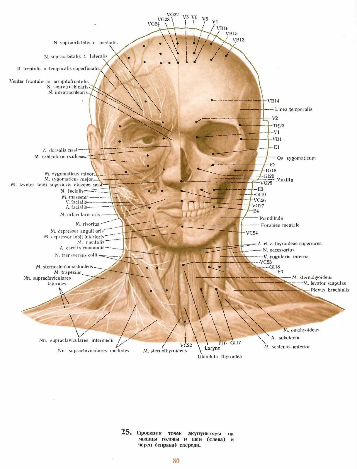 аккупунктура схема голова